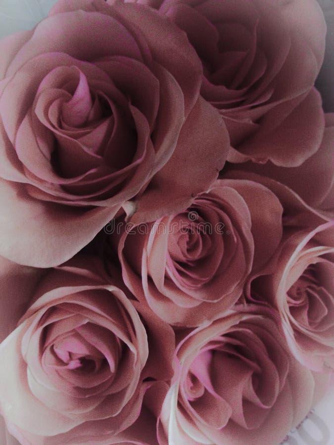 Roze rozen stock afbeeldingen