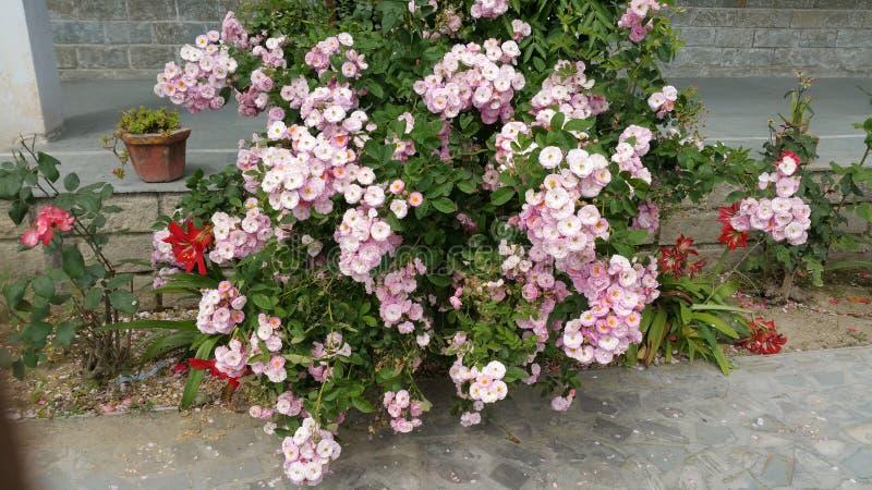 Roze rozen royalty-vrije stock afbeelding