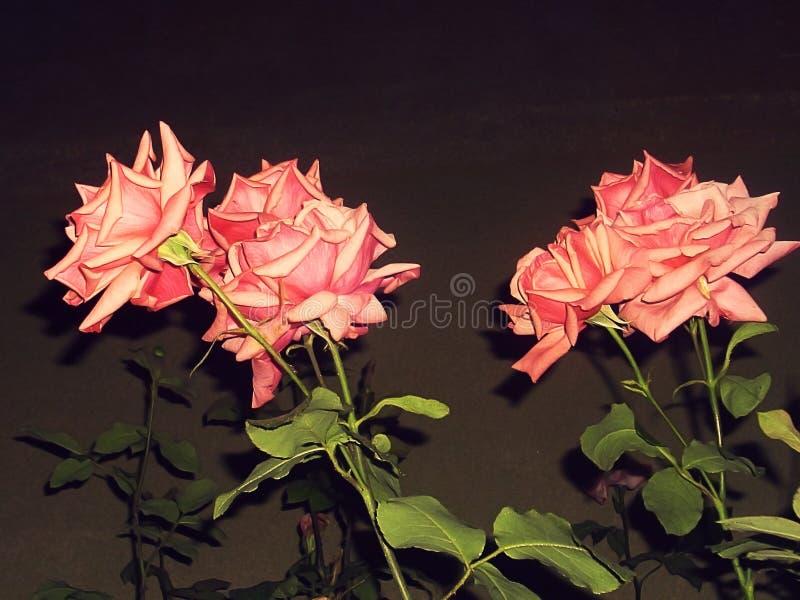 Roze rozen in dark royalty-vrije stock foto
