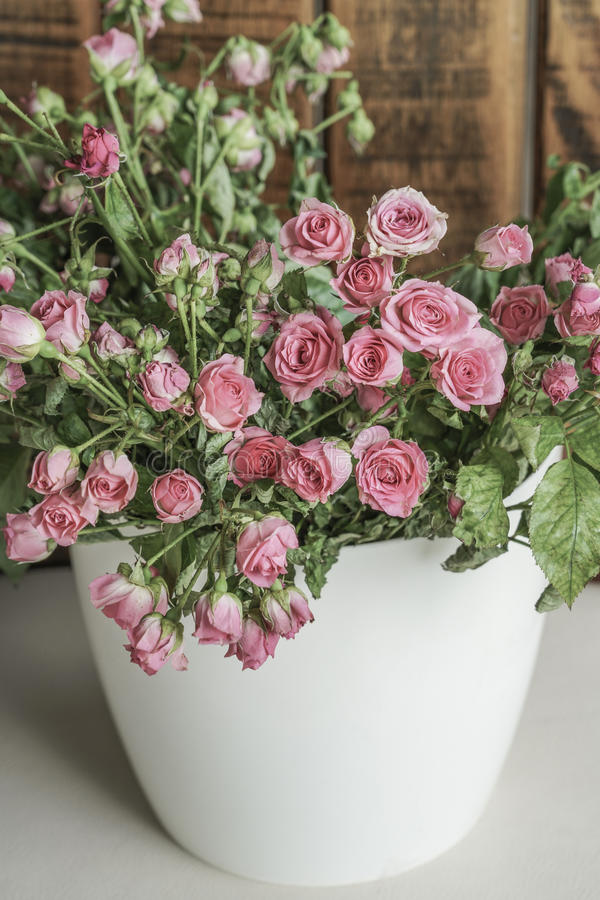 Roze rozen in een witte pot stock afbeeldingen