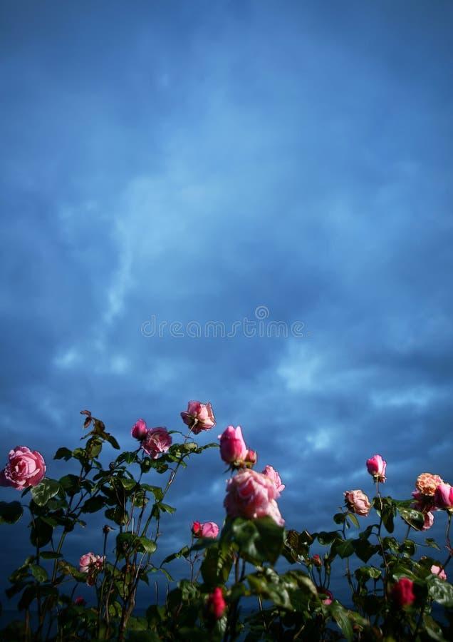 Roze rozen en donkerblauwe hemel royalty-vrije stock afbeelding