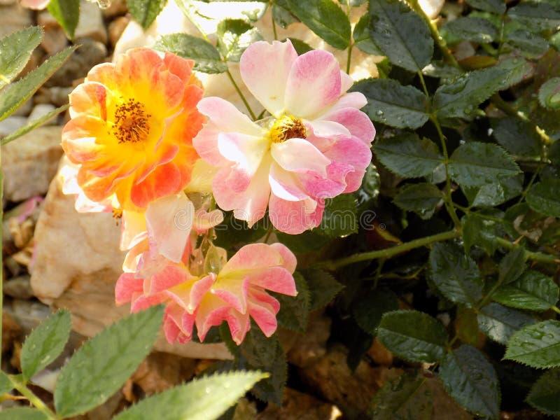 Roze rozen na de regen royalty-vrije stock afbeelding