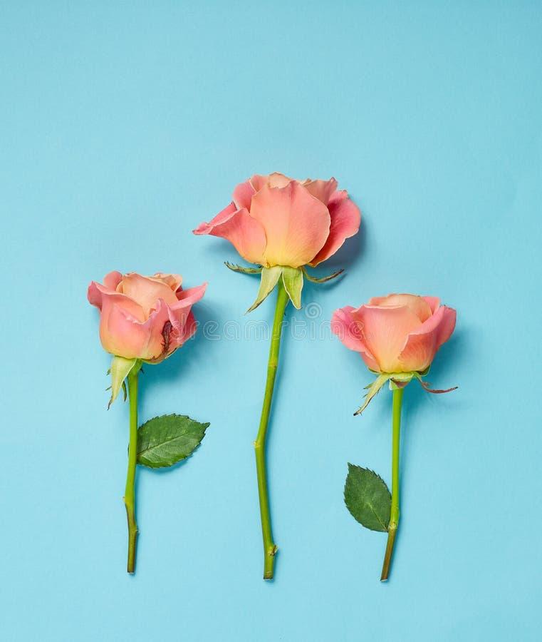 Roze Rozen op blauwe achtergrond stock foto