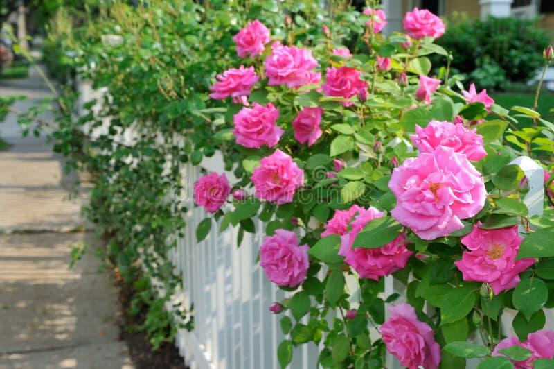 Roze Rozen op Witte Omheining royalty-vrije stock foto