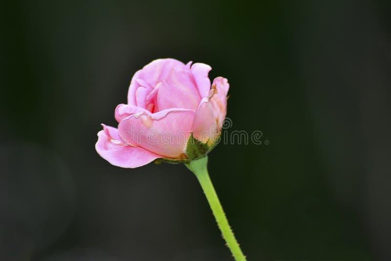 Roze rozen op zich het donkere maar mooie dag Verfrissen royalty-vrije stock afbeelding