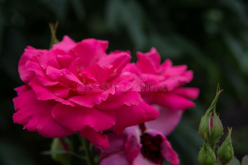 Roze Rozen in openlucht royalty-vrije stock afbeeldingen