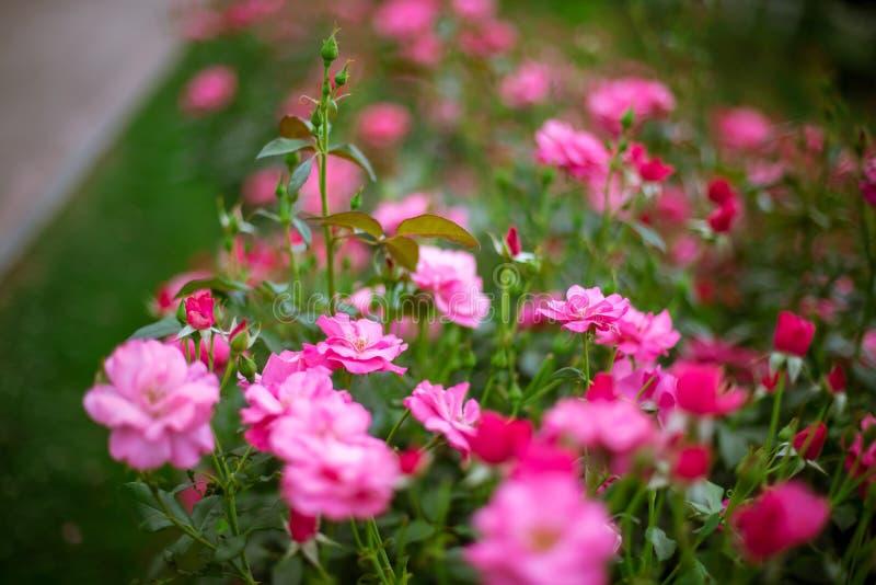 Roze rozen in tuin royalty-vrije stock afbeelding