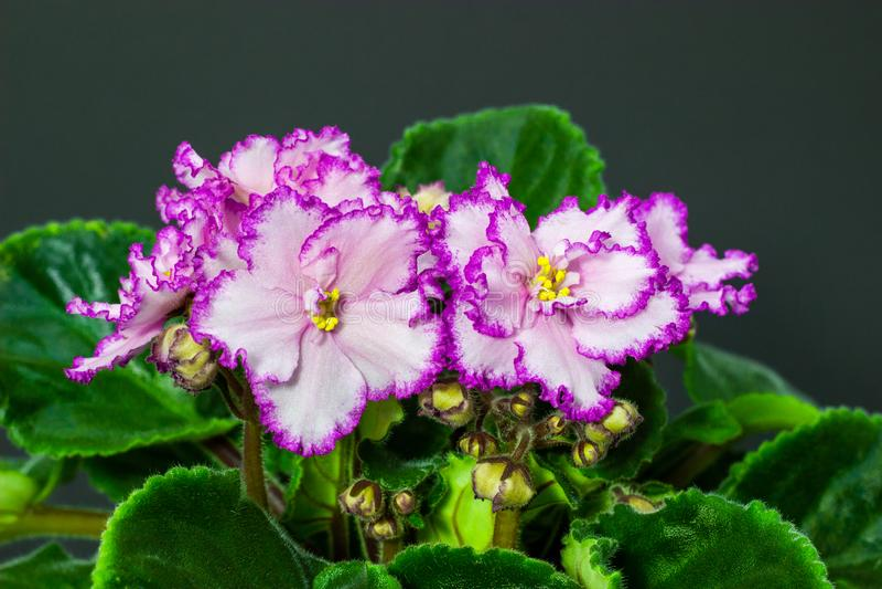 Roze Saintpaulia-bloemen in bloempotten op donkere achtergrond royalty-vrije stock foto's