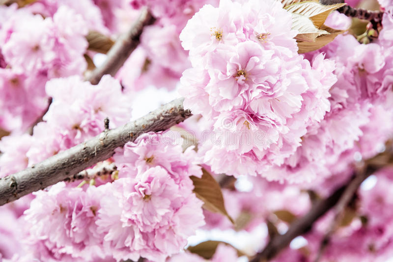 Roze Sakura-bloemen - Kersenbloesem - in de lente royalty-vrije stock afbeelding