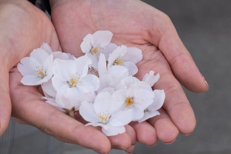 Roze Sakura Blossom ter beschikking royalty-vrije stock afbeelding