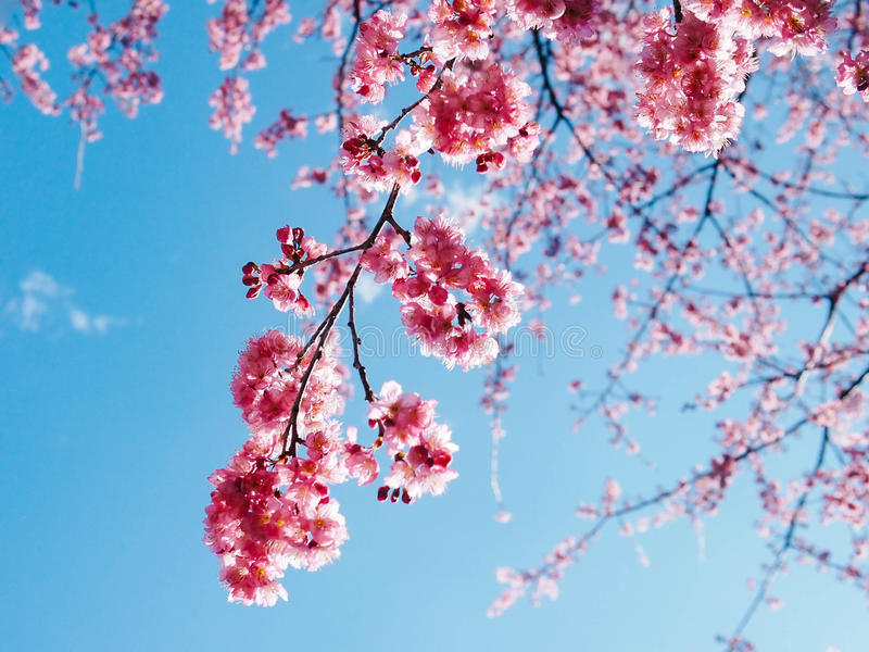 Roze Sakura Cherry Blossom Under Blue Sky II stock foto's