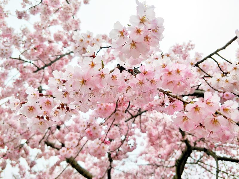 Roze Sakura-hemelachtergrond in Japan royalty-vrije stock fotografie