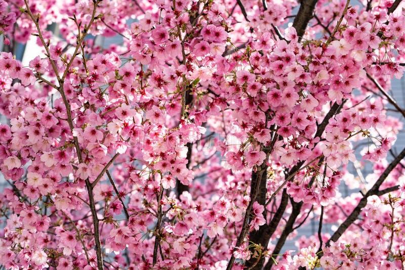 Roze Sakura Japanse kerry bloesems in vol bloei stock afbeelding