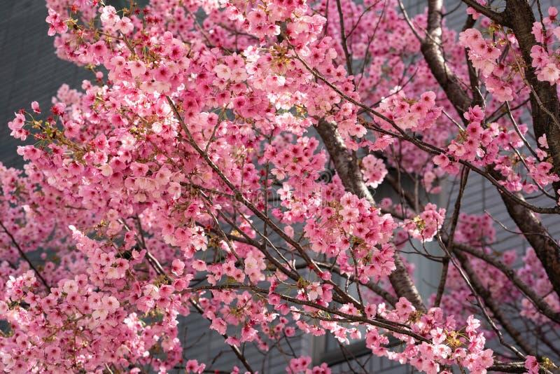 Roze Sakura Japanse kerry bloesems in vol bloei stock fotografie