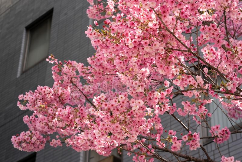 Roze Sakura Japanse kerry bloesems in vol bloei stock foto's