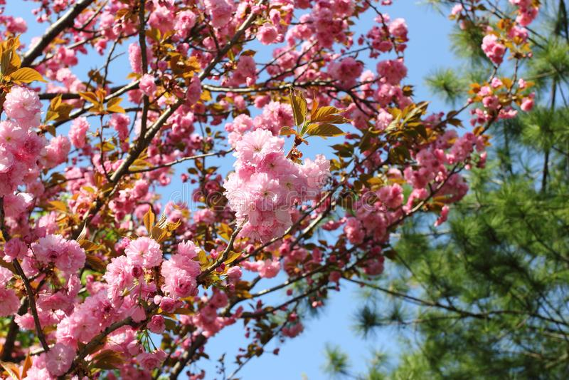 Roze sakurabloemen stock afbeelding