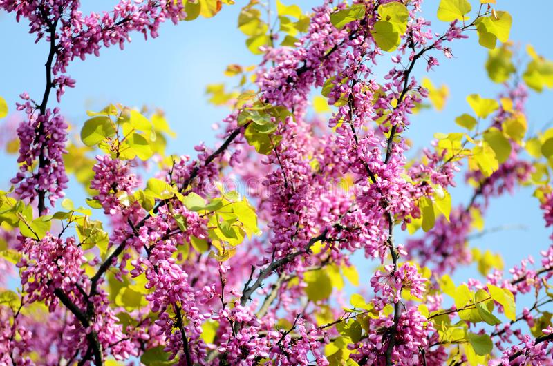 Roze Seringen bloeiende bloemen tegen de Lente blauwe hemel royalty-vrije stock fotografie