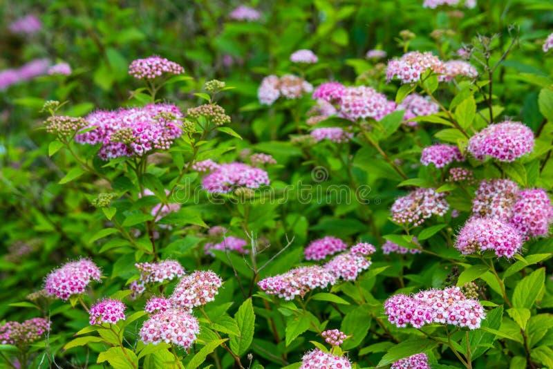 Roze spireabloemen stock foto's