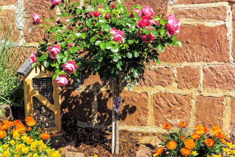 Roze stamrozen en strawflowers voor steenmuur in een tuin stock foto