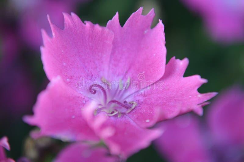 Roze ster royalty-vrije stock afbeeldingen