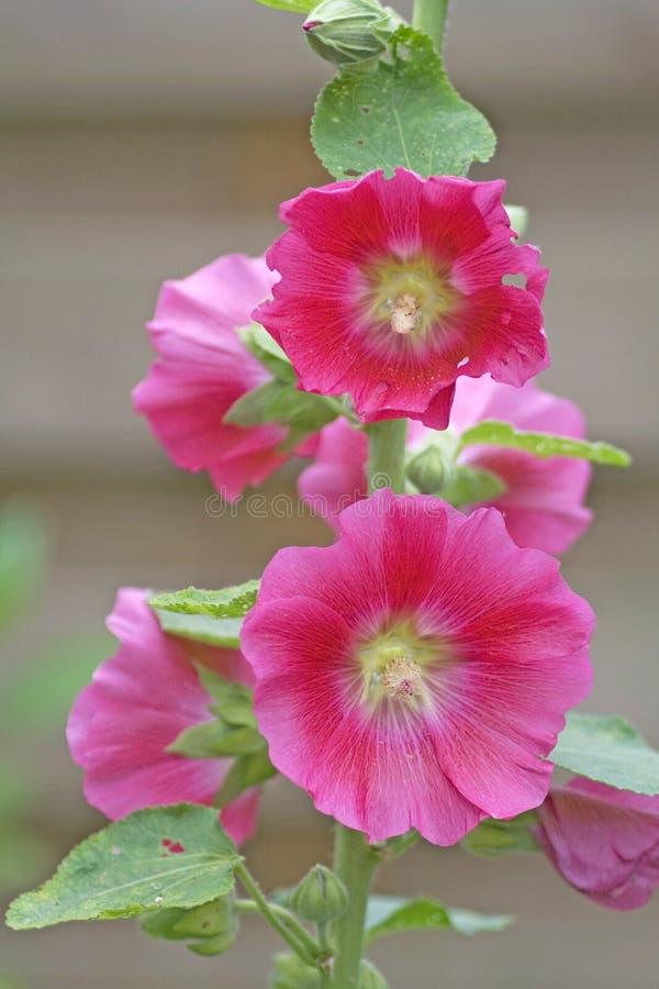 Roze stokroosbloemen stock foto's