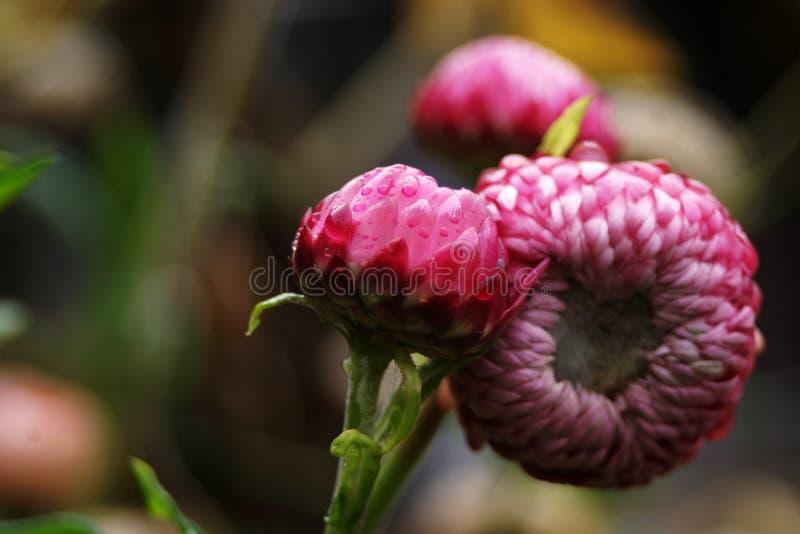Roze strawflowers stock afbeelding