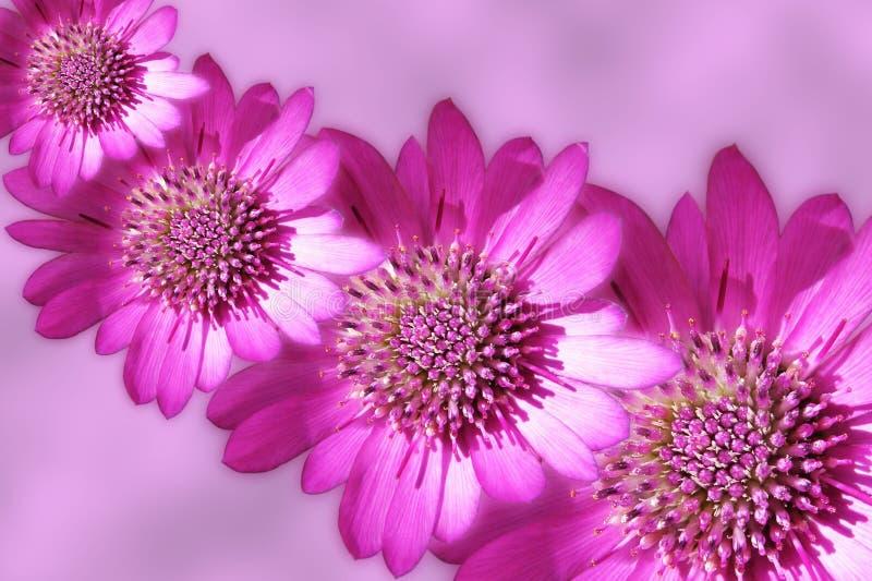 Roze strawflowersontwerp royalty-vrije stock foto's