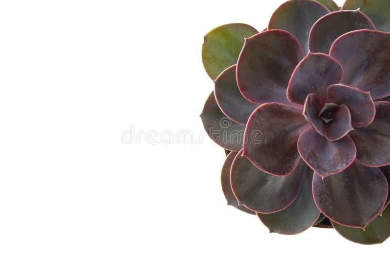 Roze Succulente Geïsoleerde Echeveria Dusty Rose Sluit steeg succulent stock afbeelding