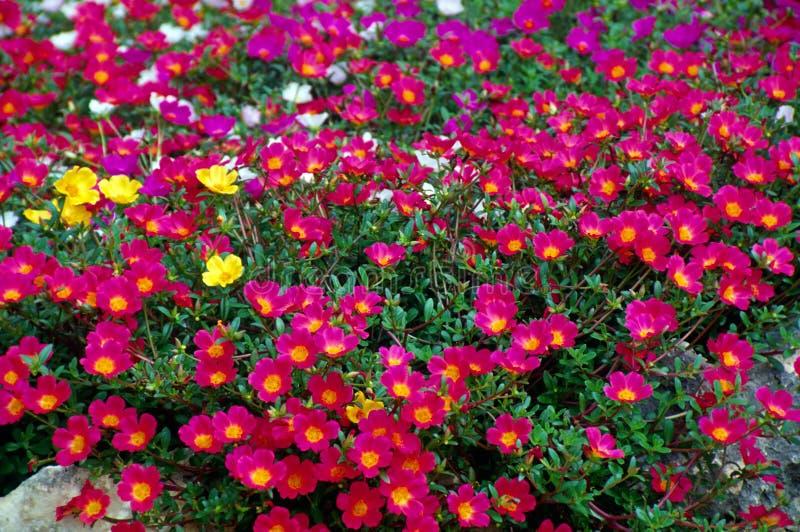 Roze tuinbloemen royalty-vrije stock fotografie