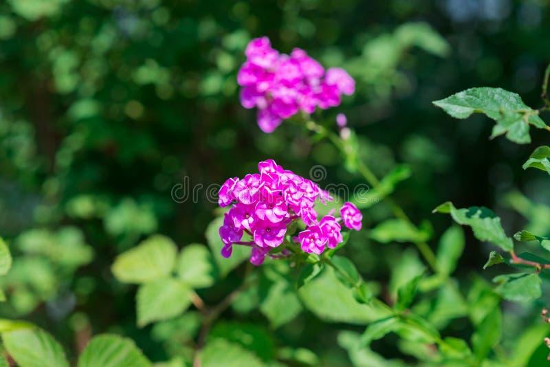 Roze tuinfloxxen (Floxpaniculata) stock fotografie