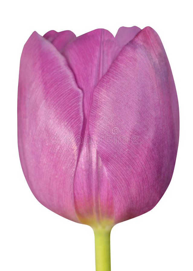Roze Tulip Flower Closeup Isolated op witte achtergrond royalty-vrije stock afbeelding