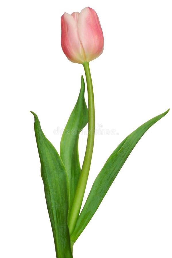 Roze Tulp royalty-vrije stock afbeeldingen