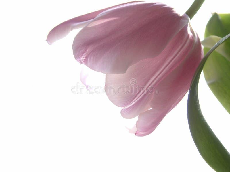 Roze Tulp Royalty-vrije Stock Foto