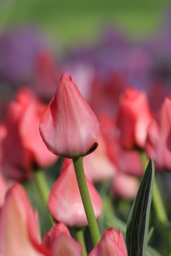 Roze tulp stock foto's