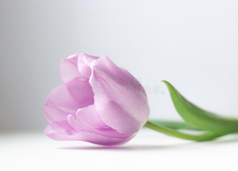 Roze tulp op een lichte achtergrond De kaart van Pasen en van de lente, mooi bloemclose-up royalty-vrije stock afbeeldingen