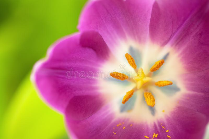 Roze tulp op groene vage achtergrond Macro Samenvatting Close-up horizontaal Spot omhoog met exemplaarruimte voor groetkaart royalty-vrije stock foto's