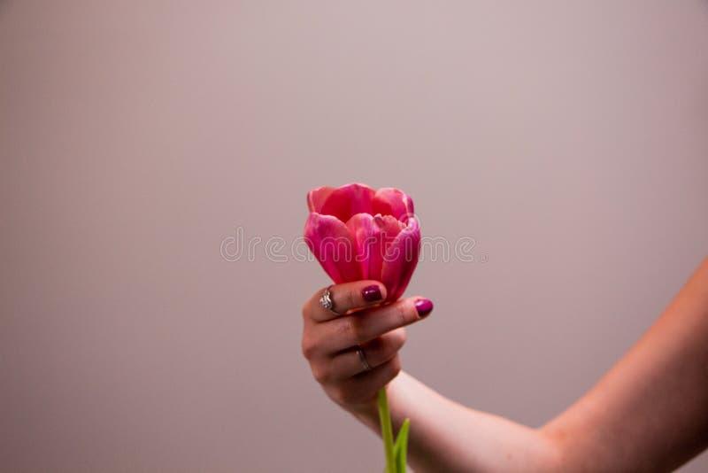 Roze tulp in vrouwenhand royalty-vrije stock afbeelding