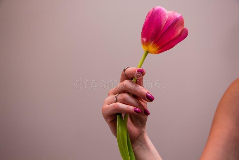 Roze tulp in vrouwenhand stock fotografie