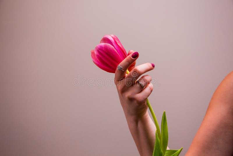 Roze tulp in vrouwenhand stock afbeeldingen