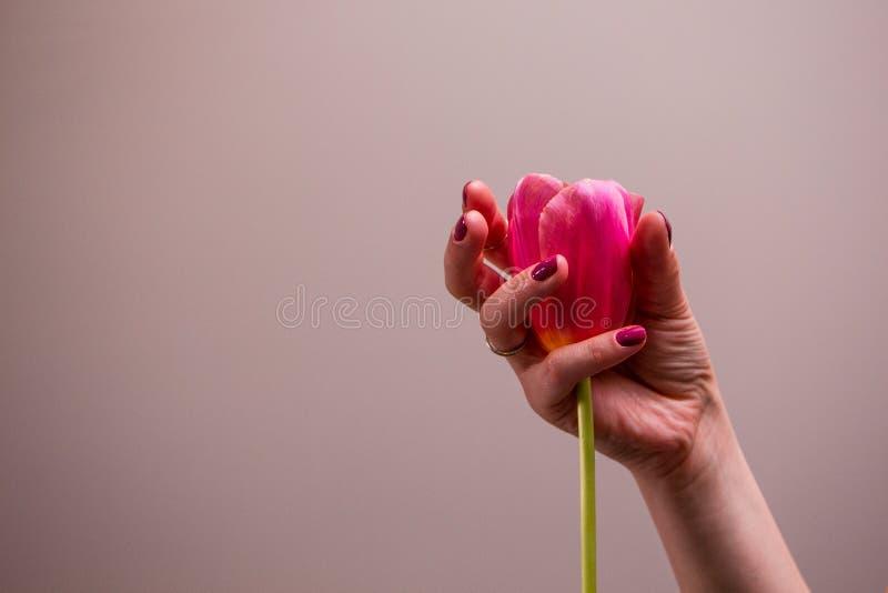 Roze tulp in vrouwenhand stock afbeelding