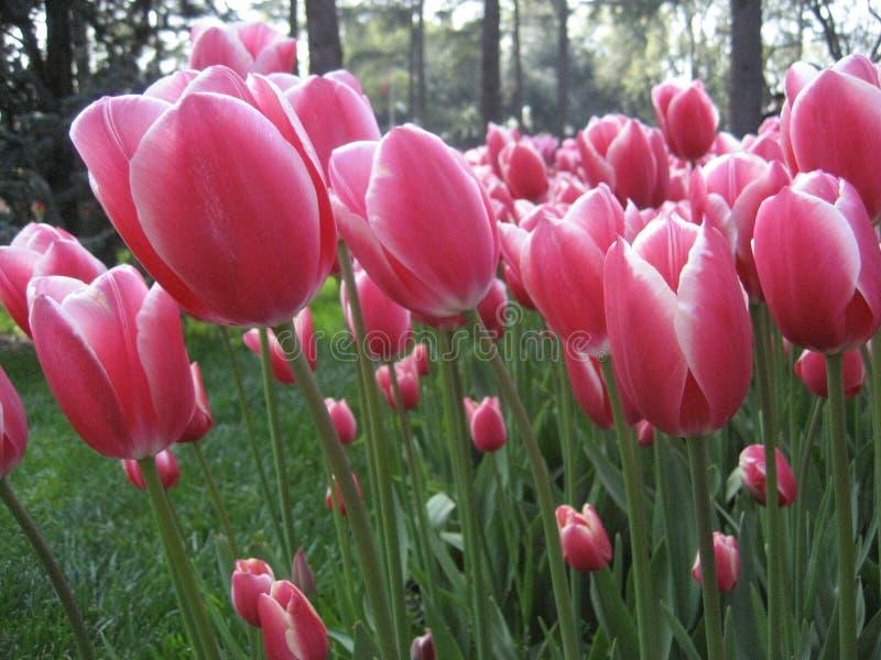 Roze tulpen stock foto