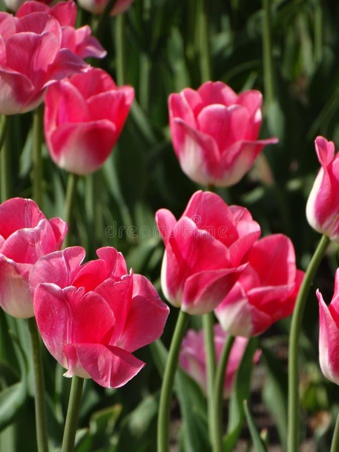 Roze tulpen royalty-vrije stock afbeeldingen