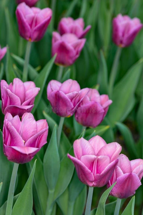 Roze tulpen De lente roze tulpen die met groene steel op een tuingebied uit nadrukachtergrond bloeien Conceptenbeeld voor seizoen royalty-vrije stock foto