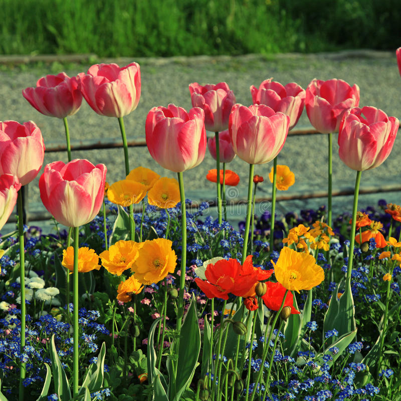 Roze tulpen en multicolored tuinbloemen stock foto's