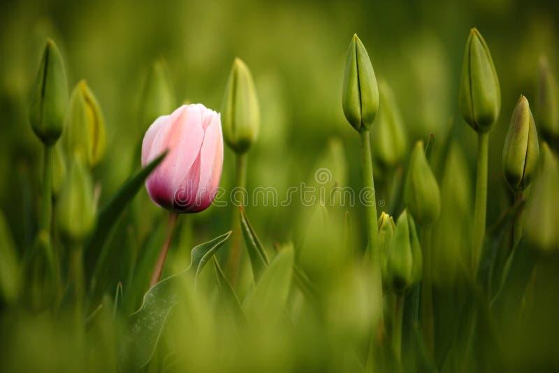 Roze tulpenbloei, rood mooi tulpengebied in de lentetijd met zonlicht, bloemenachtergrond, tuinscène, Holland, Nederland royalty-vrije stock foto