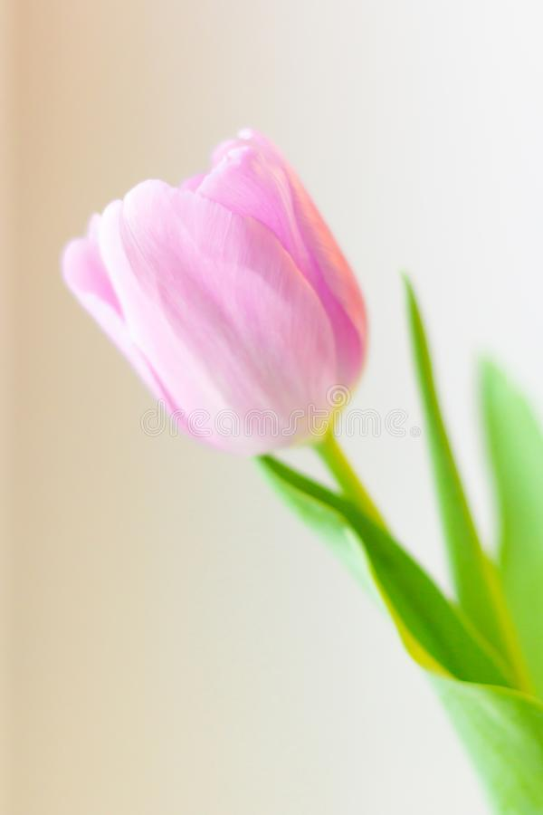 Roze tulpenbloem De groetkaart van Pasen of van de dag van Valentine ` s stock foto