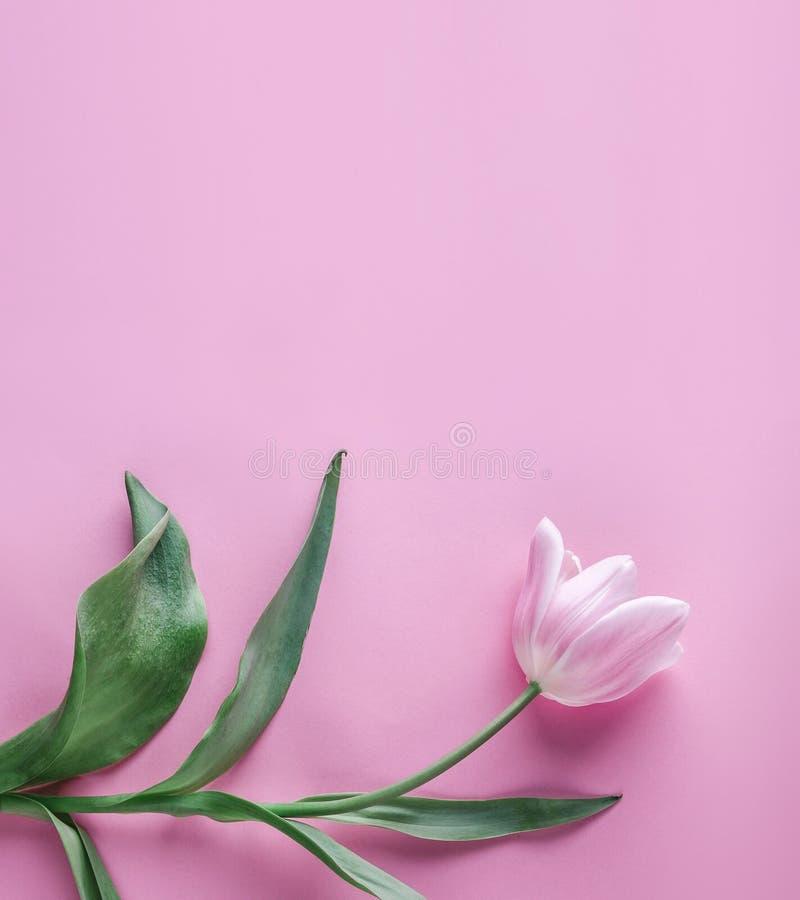 Roze tulpenbloem op roze achtergrond Het wachten op de lente Kaart voor Moedersdag, 8 Maart, Gelukkige Pasen De kaart van de groe royalty-vrije stock afbeeldingen