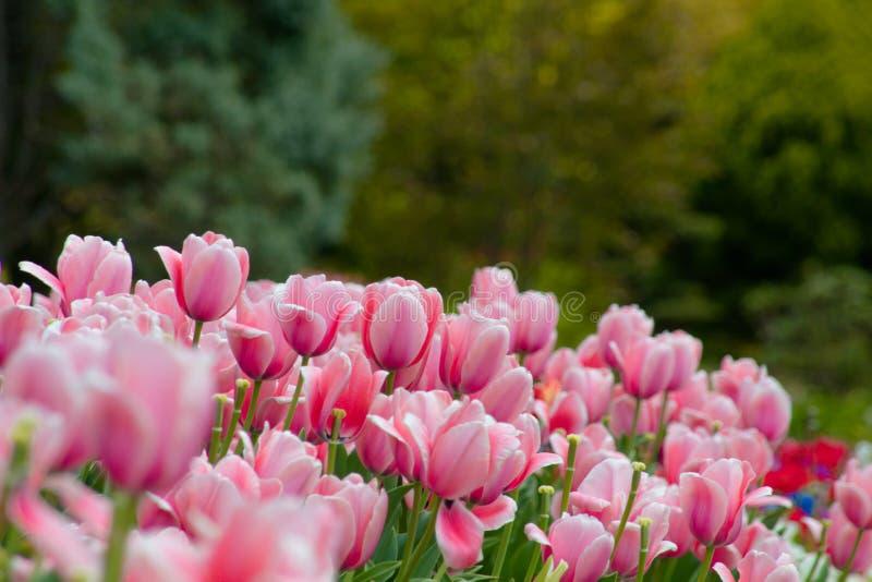 Roze tulpenbloemen in het midden van de zomer of de lente royalty-vrije stock foto