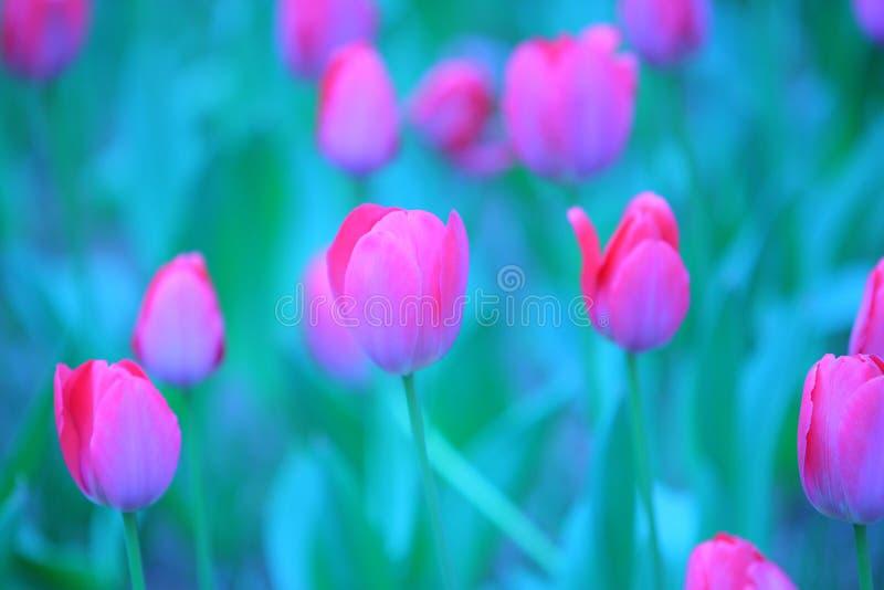 Roze tulpendetails stock afbeelding