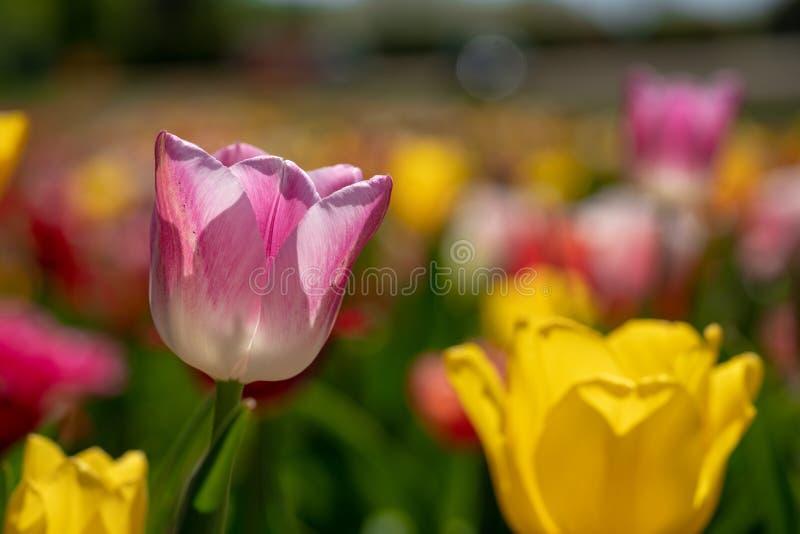 Roze tulpentribunes voor een tulpengebied royalty-vrije stock fotografie